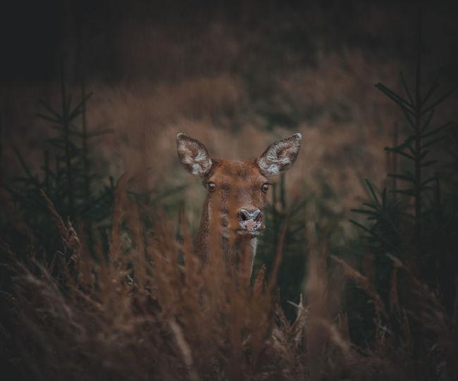 focus Deer King