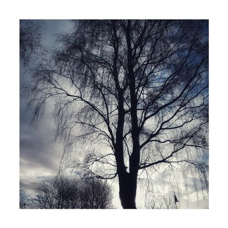 Birch trees Tree Outdoors Day Sky Nature No People Growth Tree Trunk Branch Close-up Beauty In Nature Leaf Autumn🍁🍁🍁 Autumn Lovelancashire Monochrome Black And White Photography Horwich Nature Silhouette Tree Bleak Bare Tree Tranquility Low Angle View