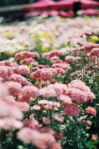 Chrysanthemums is bloom