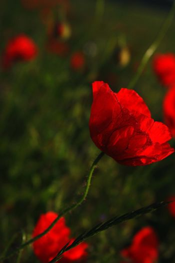 Poppy Poppy Flowers Red Red Flower Red Blossom Romantic EyeEmBestPics EyeEm Best Shots - Nature No People Rural Scene Outdoors Nature Beauty In Nature Sunlight Fragility Poppy In A Field Grass Landscape Sadness Hope Natural Botany Botanical Summer Evening Sun Capture Tomorrow