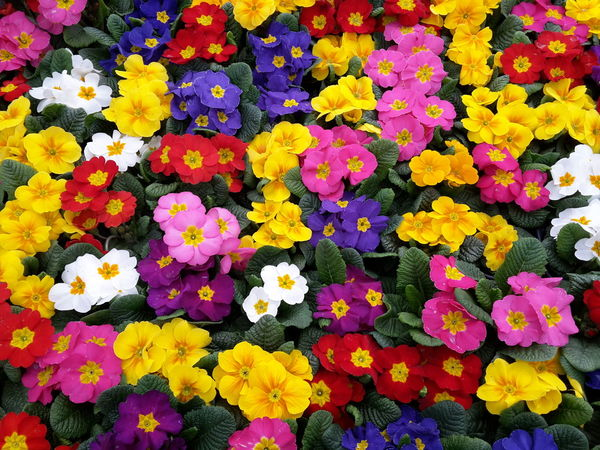Multi colored primroses Backgrounds Pattern Flower Fragility Freshness Petal Beauty In Nature Multi Colored Flower Head No People Nature Blooming Close-up Outdoors Day Full Frame Joyful Color Colorful Primroses Primula Spring Springtime First Flowers day. Nobody