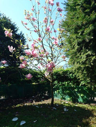 Wiosenna magnolia. Wiosno przybywaj Sztutowo Wiosna 2016 Kwitnąca Magnolia Tree Growth Nature Beauty In Nature Flower Outdoors Scenics Freshness Day Sunny Day Art Is Everywhere