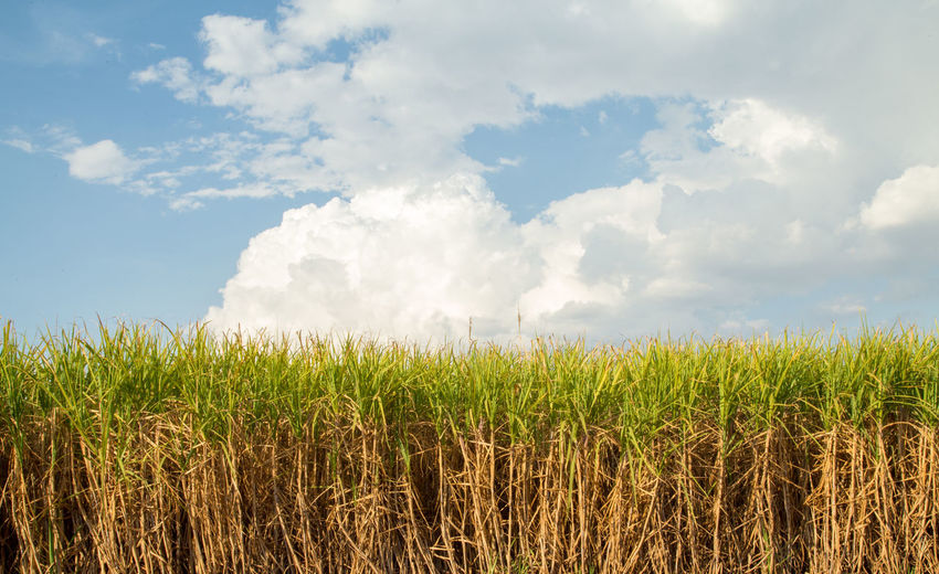 Agriculture Beauty In Nature Cereal Plant Cloud - Sky Crop  Day Environment Farm Field Growth Land Landscape Nature No People Outdoors Plant Plantation Rural Scene Scenics - Nature Sky Sugar Cane Tranquil Scene Tranquility