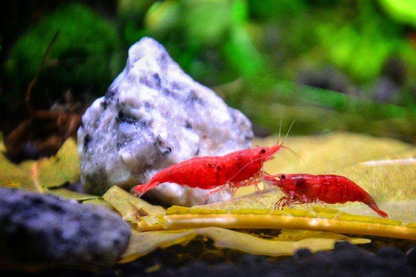 Shrimps For Aquarium Beauty In Nature Nanotank Aquarium Life Shrimp Lovers Aquarium Photography Red Nature Samsung Galaxy S7 Edge Underwater The Street Photographer - 2018 EyeEm Awards