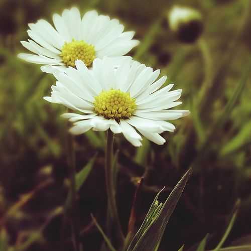 Flower Flower Freshness Day Petal No People Beauty In Nature Springtime Focus On Foreground Fragility White Color Flower Head Nature Plant Uncultivated Close-up Growth Outdoors Wildflower Summer Closing Daisy 🌼 Daisy Daisys Daisy Dudes Daisychain First Eyeem Photo