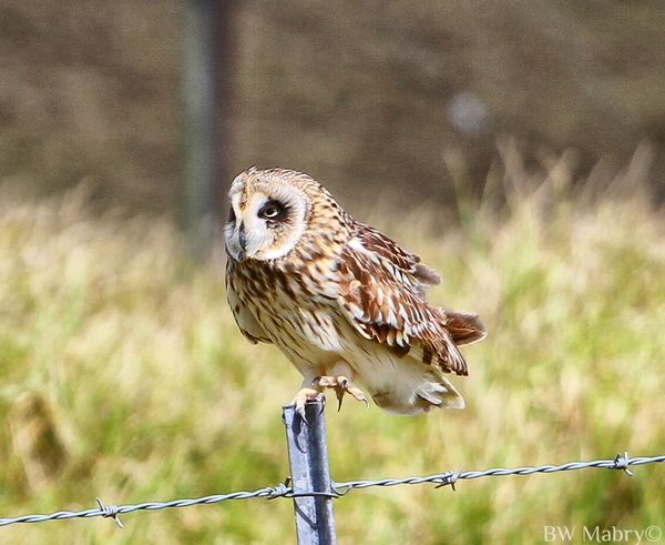 Animal Themes Animals In The Wild Barb Wire Bird Close-up Fence Focus On Foreground Nature No People Outdoors Owl Perching Pueo Pueo, Hawaiian Short Eared Owl, Owl, Sky Short Eared Owl Wildlife