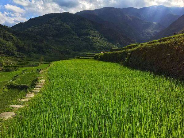Hapao Rice terraces, Philippines Scenics - Nature Green Color Beauty In Nature Mountain Landscape Growth Agriculture Tranquility Plant Land Farm Field Tranquil Scene Environment Rural Scene Rice - Cereal Plant Rice Paddy Nature Day