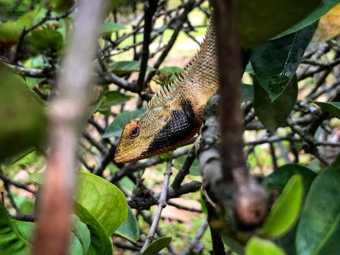Oriental Garden Lizard - angry color? Lizard Changeable Lizard Oriental Garden Lizard Calotes Versicolor Garden Lizard October 2018 Animal Themes Animal Animals In The Wild Animal Wildlife Tree Plant One Animal Vertebrate Reptile Branch Nature Plant Part Leaf Green Color Selective Focus Close-up No People Day Outdoors