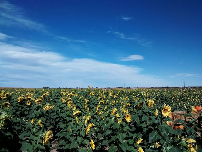 Sun Flower field Taking Photos Enjoying Life Flowers,Plants & Garden Travel Photography