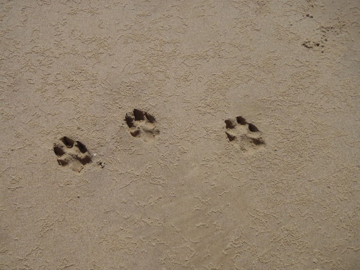 High Angle View Of Paw Prints On Sandy Field