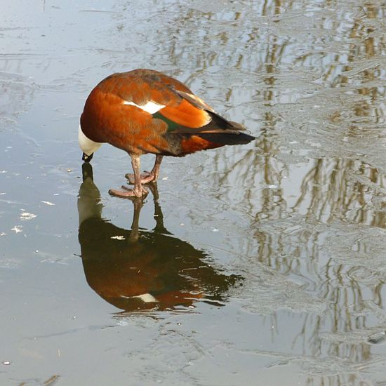 Paradise shelduck on a frozen pond. These birds are endemic to NZ. At Hanmer Springs, South Island, New Zealand. Duck Pond Frozen Winter Birds Reflection New Zeland  Hanmer Springs Trees Nature Weather