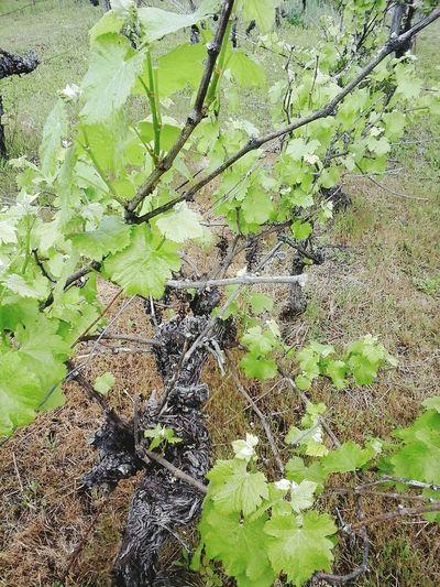 Vineyard Vigne