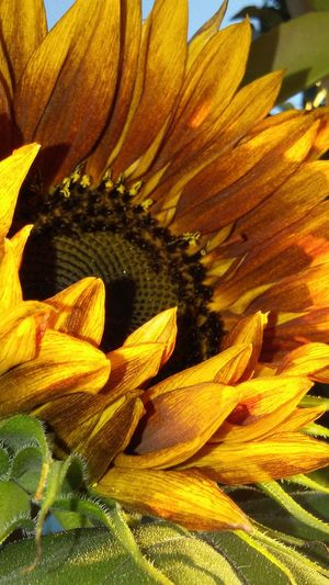 Morning Photography Sunflower Morning Flower Nature Morning Light Summer Dog Days Of Summer EyeEm Vision Essence Of Summer Showcase August Summer Views EyeEm Gallery Getty Images Eyeem Market Pure Awesomeness Sunflower Photography Sunflower Collection Flower Head Just Wow! Artistic Expression From My Point Of View Growth Fragility Petal Yellow