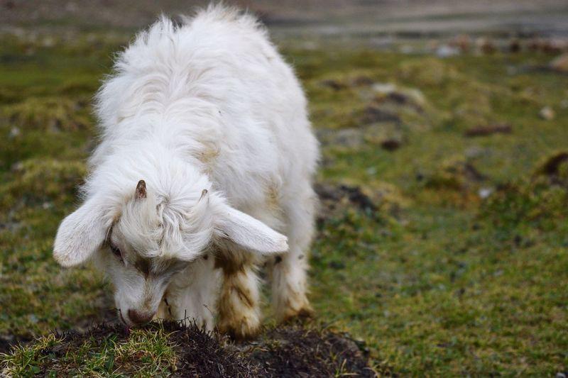 Pashmina Goat On Grazing On Field