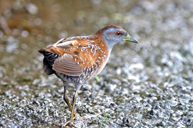 Baillon's Crake Porzana pusilla Beautiful Birds of Thailand Bird Animal Themes One Animal Animal Wildlife Animals In The Wild Animal Vertebrate No People Focus On Foreground Day Nature Water Close-up Selective Focus Outdoors Side View Beauty In Nature Perching Rock Baillon's Crake Crake