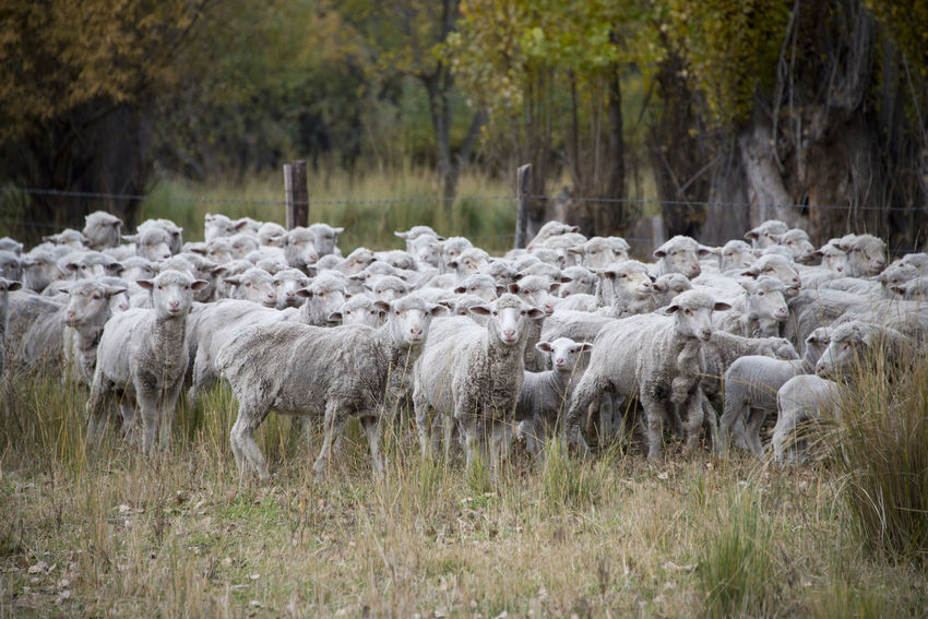 Sheeps in Rio Negro, Argentina Animals In The Wild Nature Animal Themes Argentina Day Domestic Animals Flock Of Sheep Grass Large Group Of Animals Livestock Nature Outdoors Rural Scene Sheep Sheeps Togetherness Wool