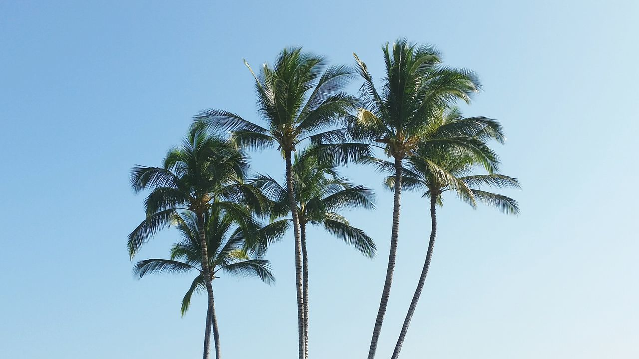 palm tree, low angle view, tree, clear sky, tree trunk, growth, nature, palm frond, sky, no people, day, blue, beauty in nature, outdoors, scenics