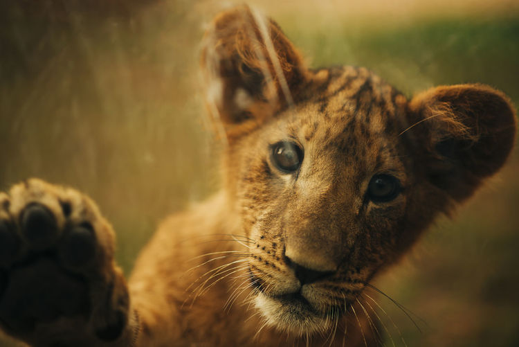 Close-up portrait of a lion cub looking away
