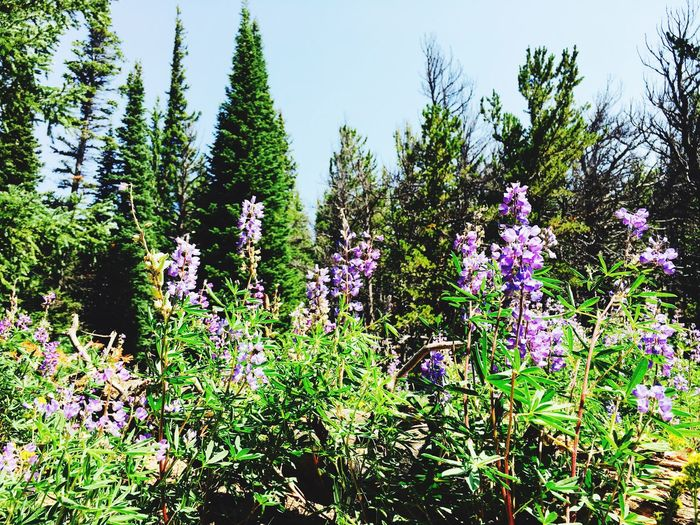 Growth Nature Flower Beauty In Nature Tree Plant Day No People Fragility Outdoors Tranquility Purple Tranquil Scene Green Color Freshness Scenics Forest Clear Sky Sky Close-up Rosevelt National Forest Colorado