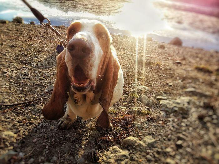 #basethound #buddy #dogwalk #sunnyday #bassethound #justforfun One Animal Dog Domestic Animals Animal Themes Mammal Pets No People Water Outdoors Day Close-up Nature