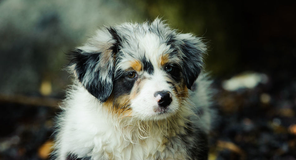 Australian Shepherd puppy Australian Shepherd  Animal Themes Aussie Day Dog Domestic Animals Focus On Foreground Mammal No People One Animal Outdoor Outdoors Pets Photography Portrait Puppy