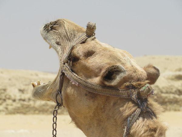 Camello Freedom Animal Head  Animal Themes Animal Work Camel Close-up Mammal One Animal Working Animal