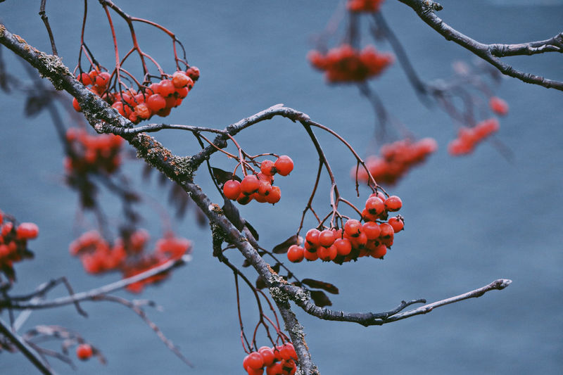 Sorbus in winter.