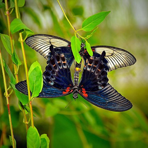 Butterfly Butterfly World Mating Pair Of Butterfly Butterflies Isle Of Wight  Animal Animal Photography Nature Beauty In Nature Black White Red Eyeemphoto