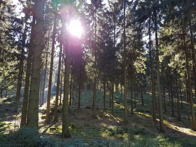 Tree Forest Tree Trunk WoodLand Sunlight Tranquil Scene Growth Scenics Nature Sun Tranquility Beauty In Nature Non-urban Scene Day Sunbeam Outdoors Lens Flare Back Lit Solitude Bright
