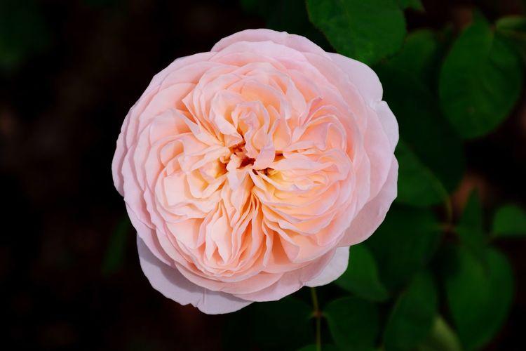 Rose🌹 Rose - Flower Roses🌹 Bishop's Rose Rose🌹 Rose Pink Bishop's Castle Bishop's Flower Head Flower Black Background Peony  Pink Color Biology Petal Water Living Organism Close-up Pale Pink Blossom Single Flower Single Rose