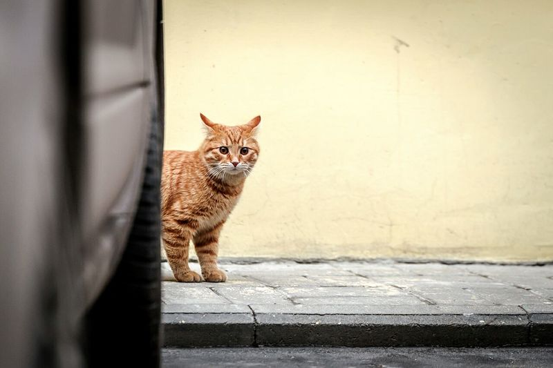 Portrait Of Brown Cat On Footpath
