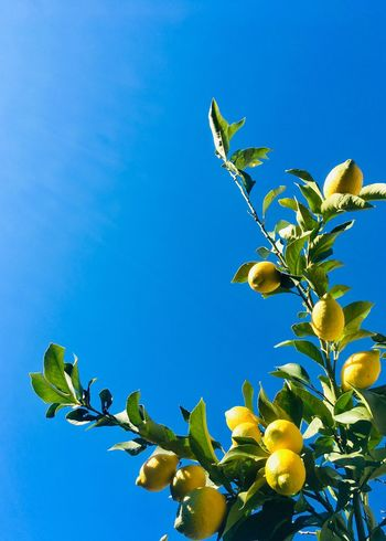 Ripe lemons on branches Lemon Yellow Lemons Sky Plant Blue Low Angle View Beauty In Nature Nature Growth Clear Sky Leaf Tree Branch