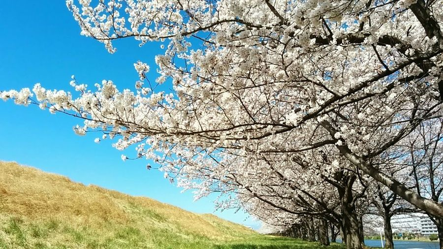 Cherry Blossom Flower Trees Enjoying Life Nature Spring Flowers Landscape_photography Eyem Flower_collection Check This Out Tree_collection