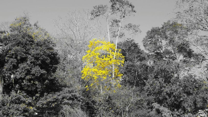 Yellow No People Tree Nature Beauty In Nature Close-up Outdoors Day Trinidad Trinidad And Tobago Nature Tree Beauty In Nature Flowers, Nature And Beauty Beauty Of Nature Poui Tree