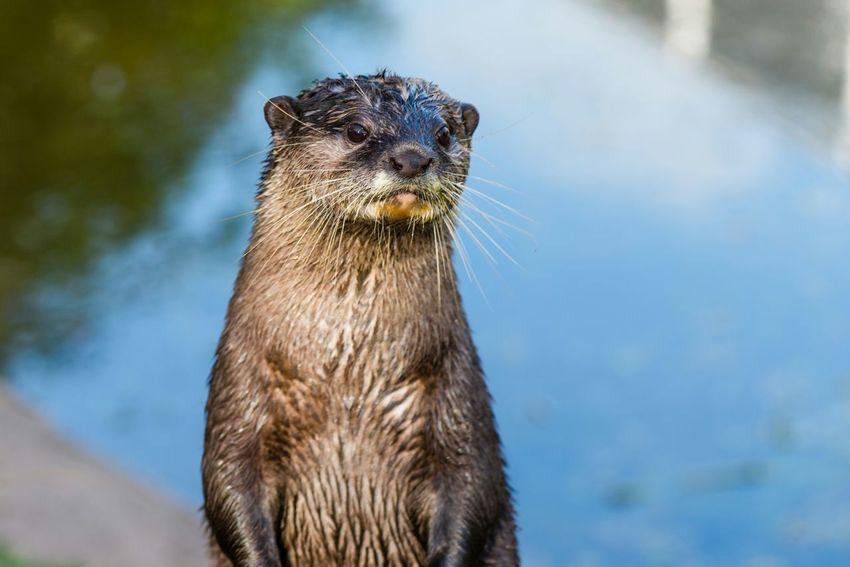 Otter Animals Animal_collection Otter Eye4nature