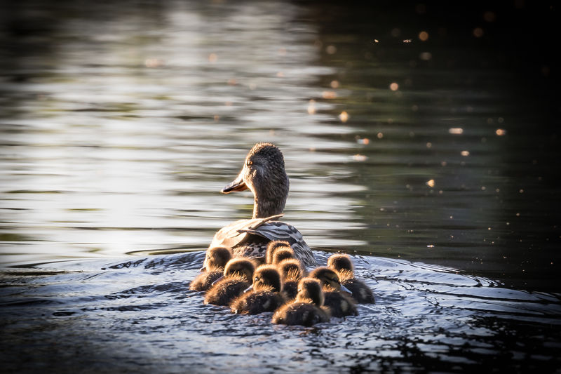 Duck Swimming With Ducklings On Lake