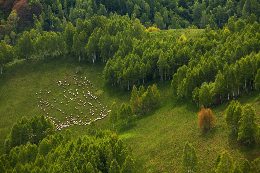 Spring rural landscape from Apuseni Mountains, Romania. Apuseni Beauty Countryside Field Flock Forest Fresh Grass Green Herd Hills Land Landscape Meadow Mountain Nature Romania Rural Sheeps Spring Summer Trees View From Above