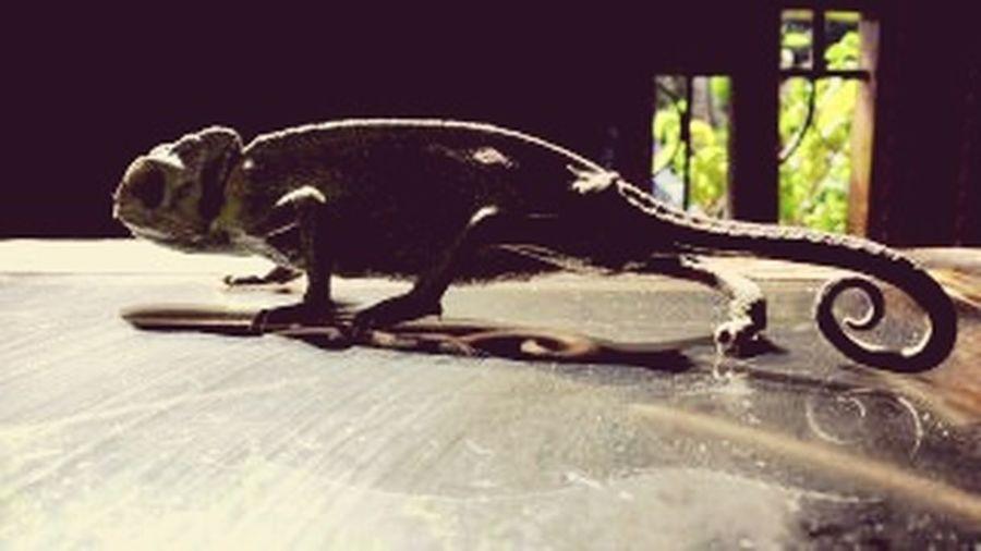 Iguana /tanger