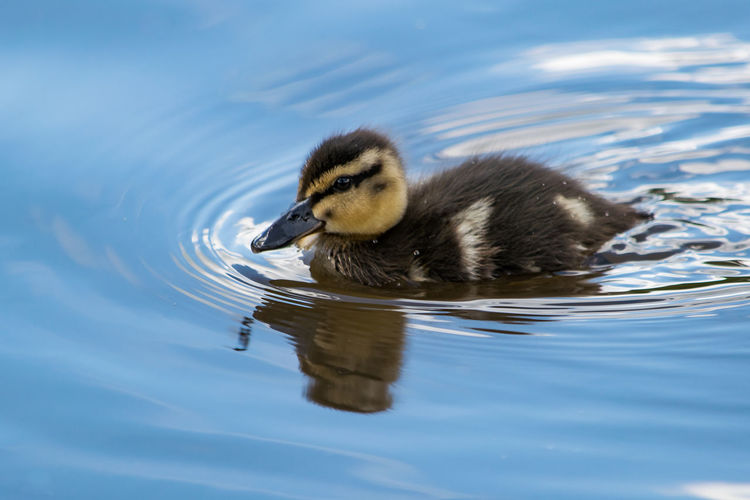 Close-up of duckling swimming