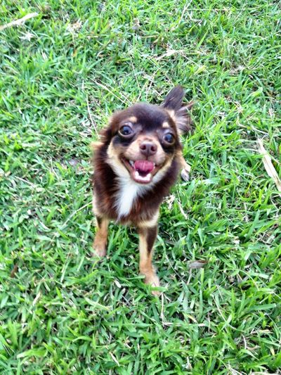 "Now... of ""Lumer"" I Love My Dog Dog Chihuahua Playing With The Animals"