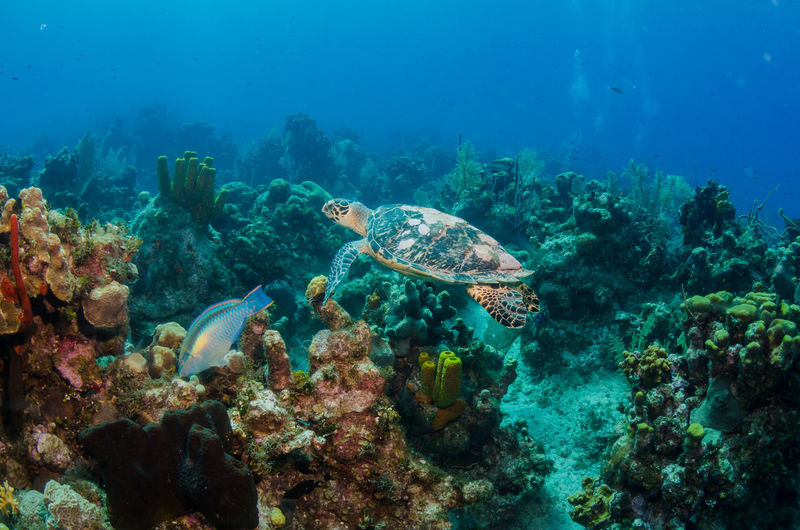 Grand Cayman Cayman Islands Caribbean Scuba Diving underwater photography Tourism Vacations Turtle Underwater Sea Life UnderSea Animal Wildlife Animal Marine Fish Sea Animals In The Wild Animal Themes Swimming Coral Vertebrate Invertebrate Water Blue No People Beauty In Nature Nature Day