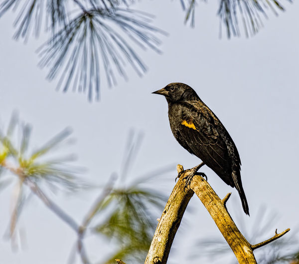 Red Winged Blaclbird Animal Themes Animal Wildlife Animals In The Wild Bird Branch Focus On Foreground Nature No People One Animal Outdoors Perching Tree