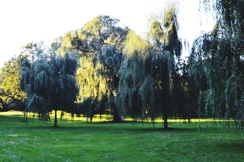 Green, yellow, green, yellow. Tree Sky Grass Green Color Willow Tree Grassland Lush - Description Lush Foliage Park - Man Made Space Grass Area Greenery Capture Tomorrow