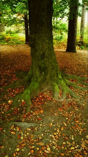 A rooting tree in Delamere forest. Tree Tree Roots  Autumn Colors Autumn Leaves Delamere Forest Leaves Fall Colors