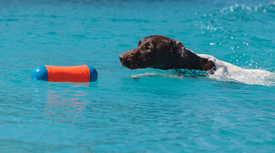 German short-haired pointer with toy in swimming pool