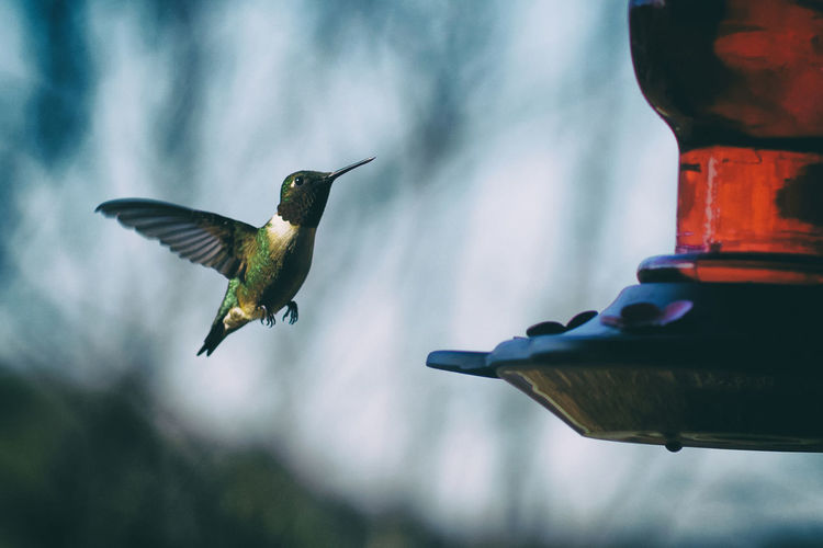 The hummingbirds are here! yay for some great photo ops! 50mm Life In Motion Nature Nature Photography Nikon D810 Wildlife & Nature Wildlife Photography About To Land Flight Fragile Beauty Fragility Freeze Frame Hummingbird In Flight Small Wildlife Wings