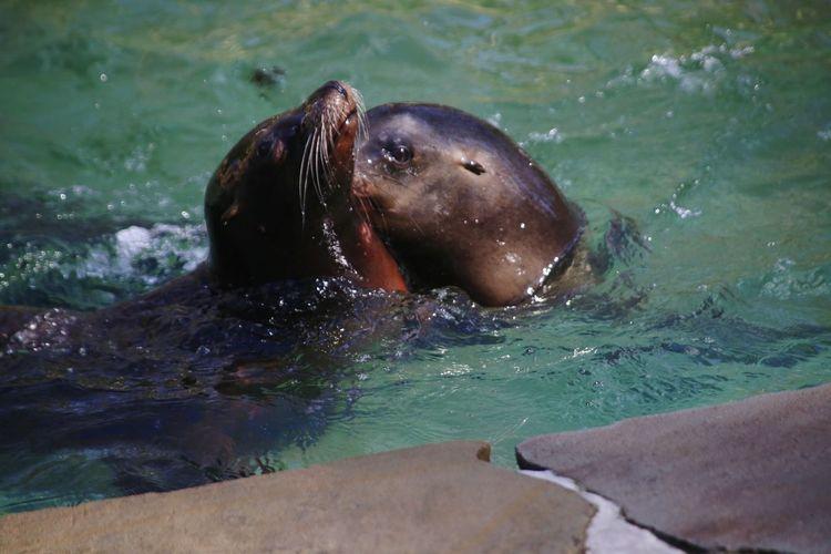 Close-up of sea-lion swimming in sea