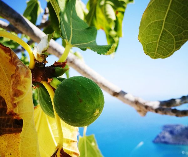 Leaf Fruit Tree Day Growth Close-up Green Color Outdoors Hanging Nature No People Focus On Foreground Branch Low Angle View Sky Plant Quiet Moments Greek Islands HuaweiP9Photography Huawei P9 Photos GREECE ♥♥ Rhode Island Beauty In Nature Nature Picoftheday