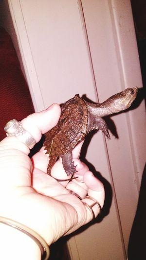 Alligator Turtle Baby Turtle Turtleturtle Baby Turtle So Cool