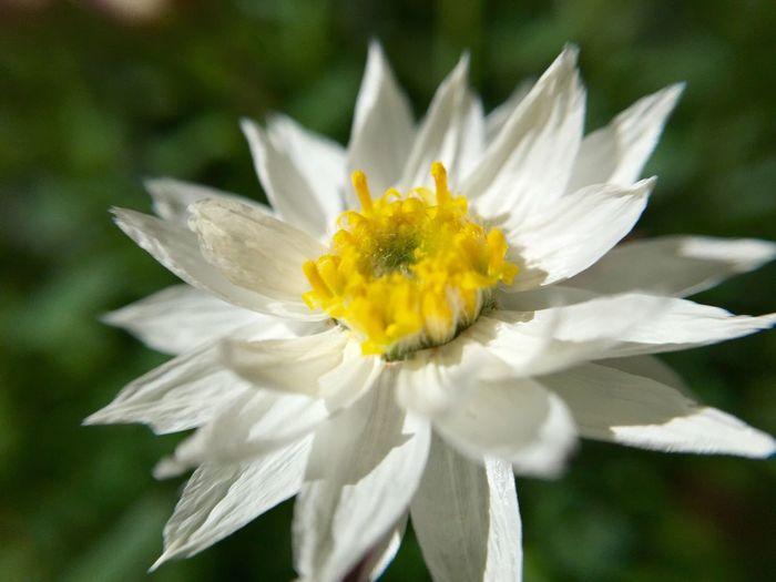White Flower Macro Photography Flowers Nature Is Art Flowerlovers Macro Nature White And Yellow Flowers White Fresh On Eyeem  Australian Flower Australian Wildflower